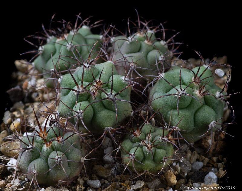 Gymnocalycium pflanzii v. lagunillasense KK 850
