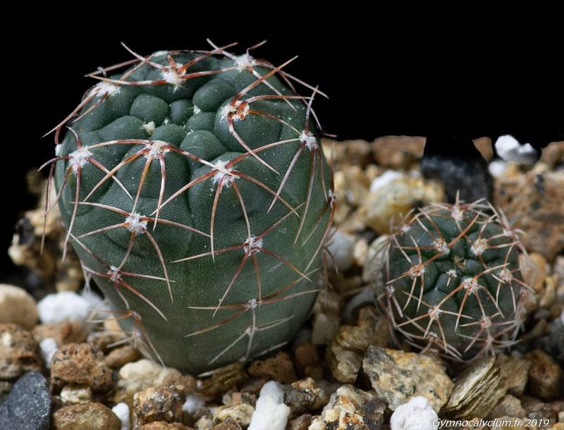 Gymnocalycium poeschlii STO 1590