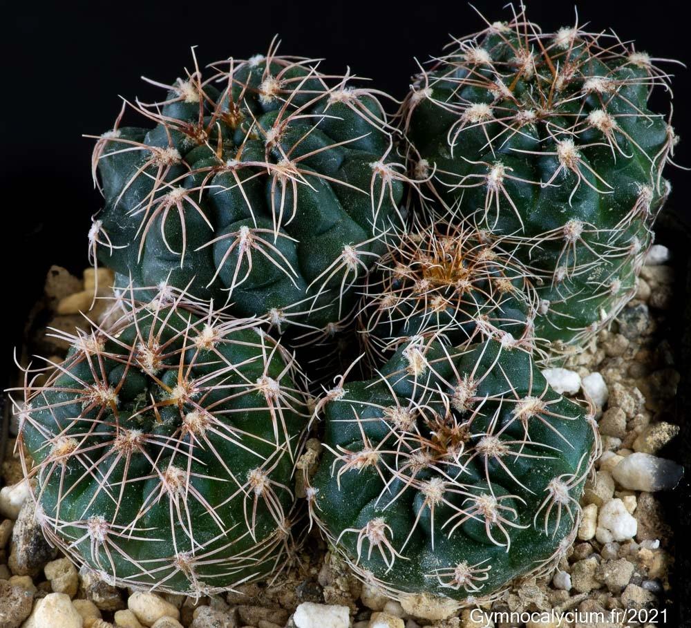 Gymnocalycium sigelianum RER 462, mêmes sujets à 3 ans.