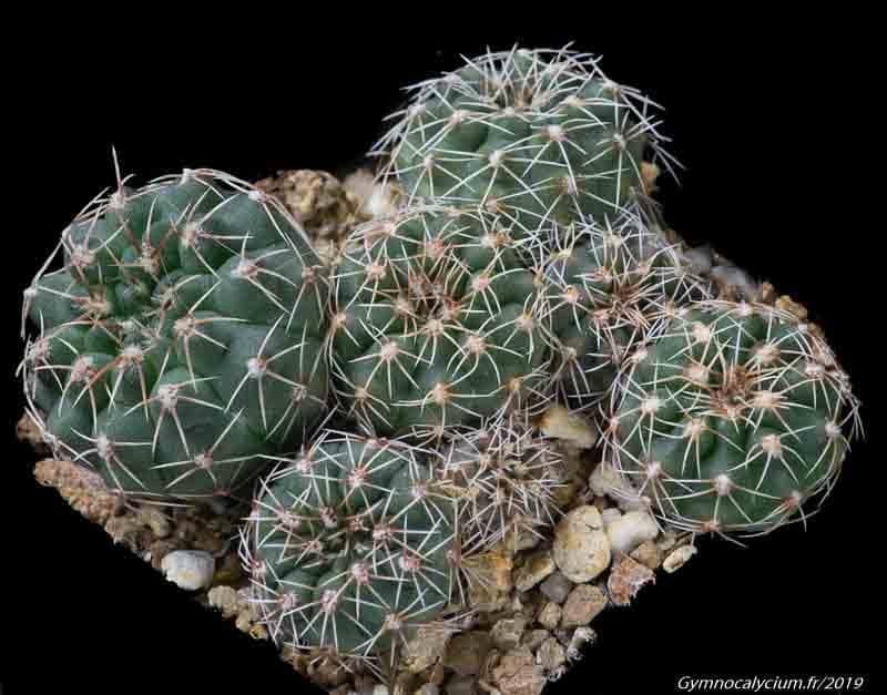 Gymnocalycium stellatum v. flavispinum RS 1505