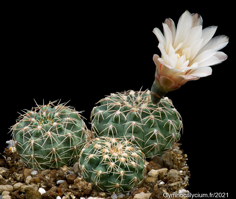 Gymnocalycium stellatum v. flavispinum RS 1505 à 4 ans.