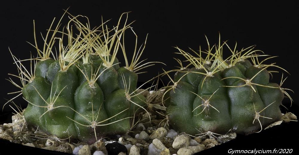 Gymnocalycium megatae subsp. klingnerianum VoS 03-54