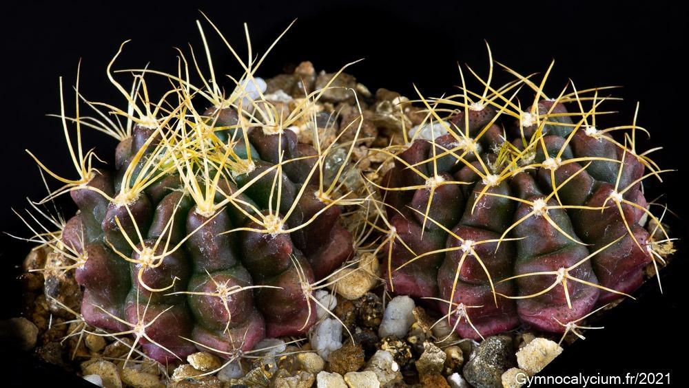 Gymnocalycium megatae subsp. klingnerianum n. prov. VoS 03-54. Mêmes sujets à 2 ans.