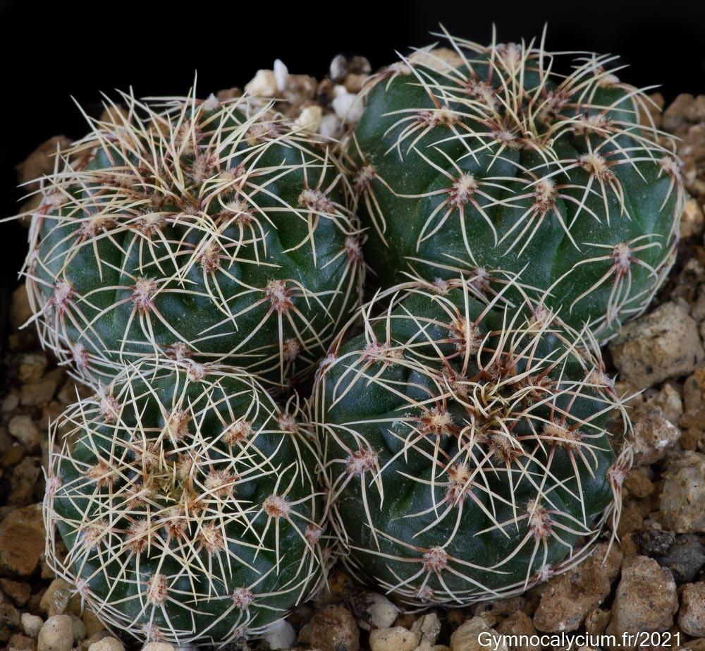 Gymnocalycium baldianum var. albiflorum VoS 13-1406