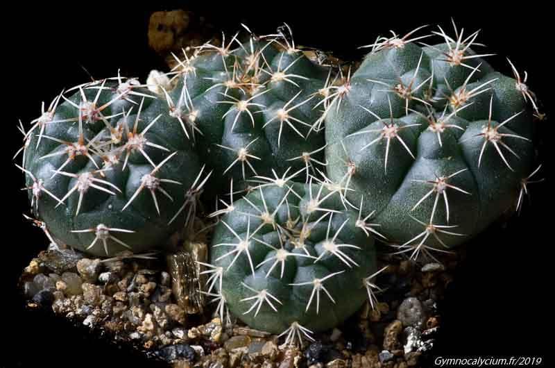 Gymnocalycium taningaense subsp fuschilloi VoS 13-1523