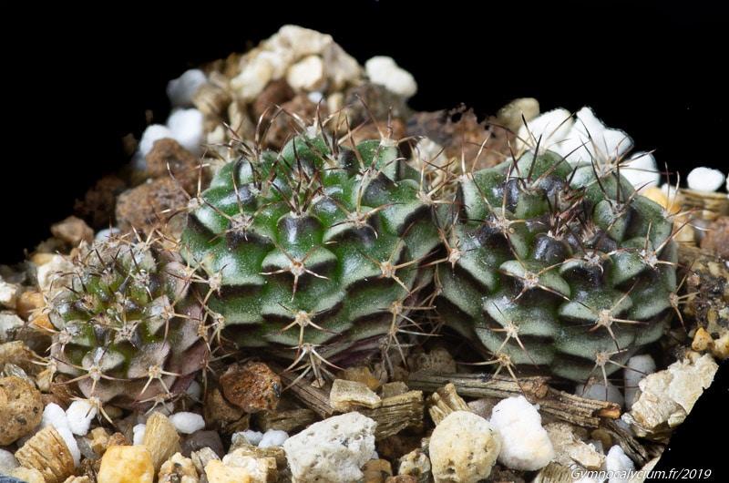 Gymnocalycium anisitsii ssp volkeri VoS 03-039