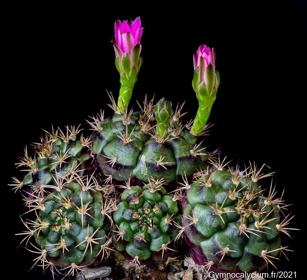 Gymnocalycium marekiorum (spec. VoS 03-049).