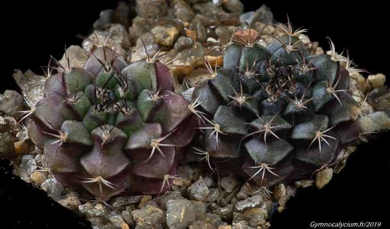 Gymnocalycium anisitsii ssp volkeri STO 98-1403/1