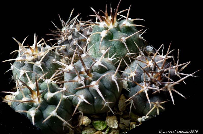 Gymnocalycium catamarcense ssp acinacispinum GN 99-1000/3460