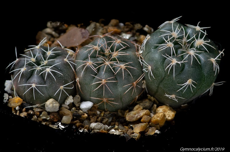 Gymnocalycium erinaceum WP 00-108/143