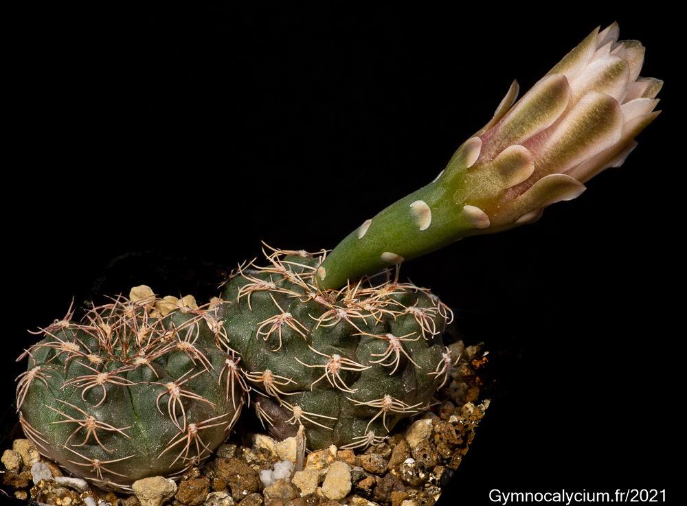 Gymnocalycium leptanthum STO 89-279/2