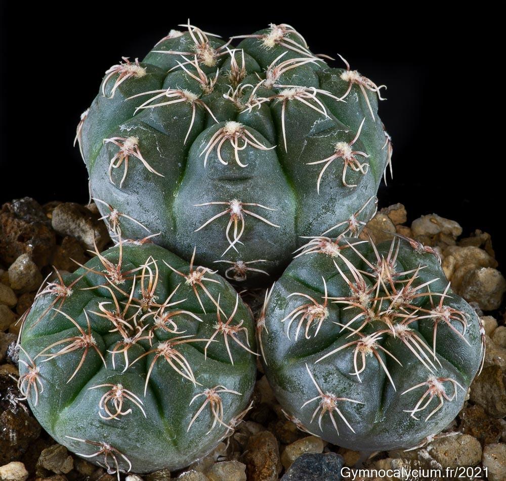 Gymnocalycium leptanthum JO 1030/1