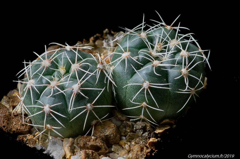 Gymnocalycium leptanthum STO 89-278