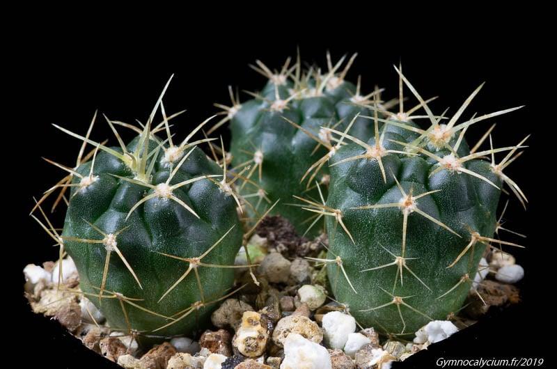 Gymnocalycium monvillei v. safronovii VG 35