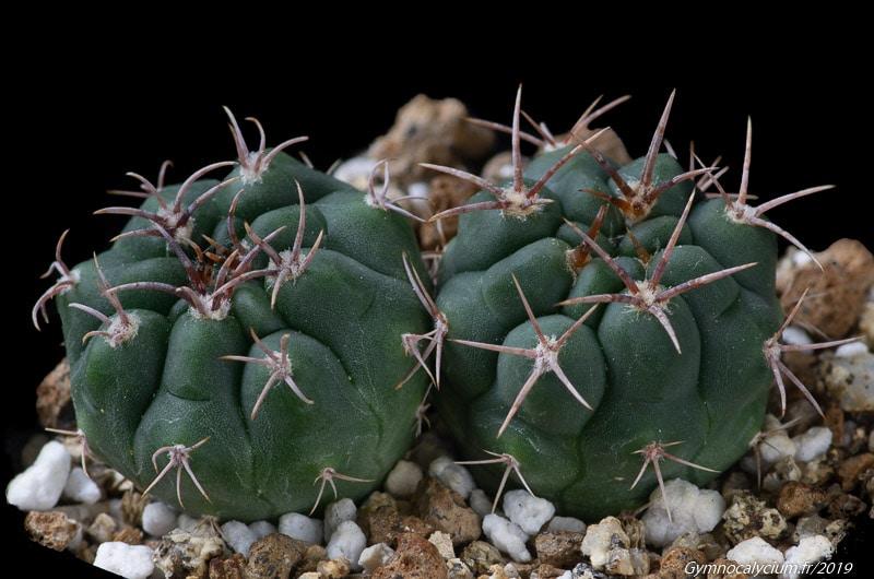 Gymnocalycium mostii v. kurtzianum KLA 7 A