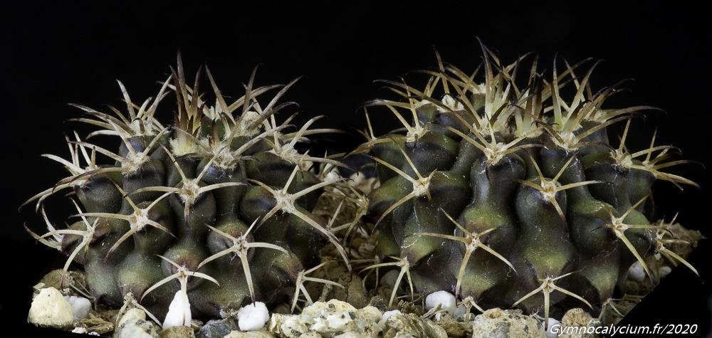 Gymnocalycium schickendantzii ssp bergeri GN 90-308
