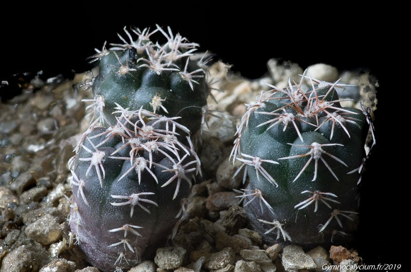 Gymnocalycium stuckertii GN 169-488