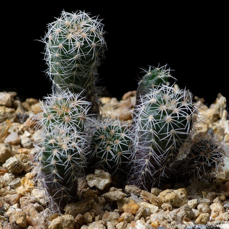 Gymnocalycium bruchii ssp implexum HV 1765