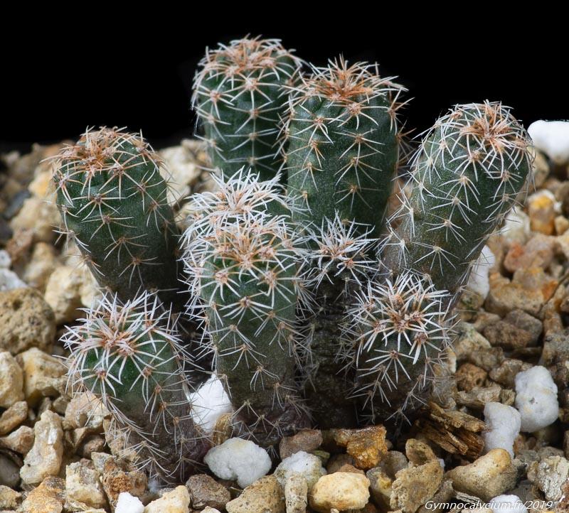 Gymnocalycium bruchii v. brigittae VS 935