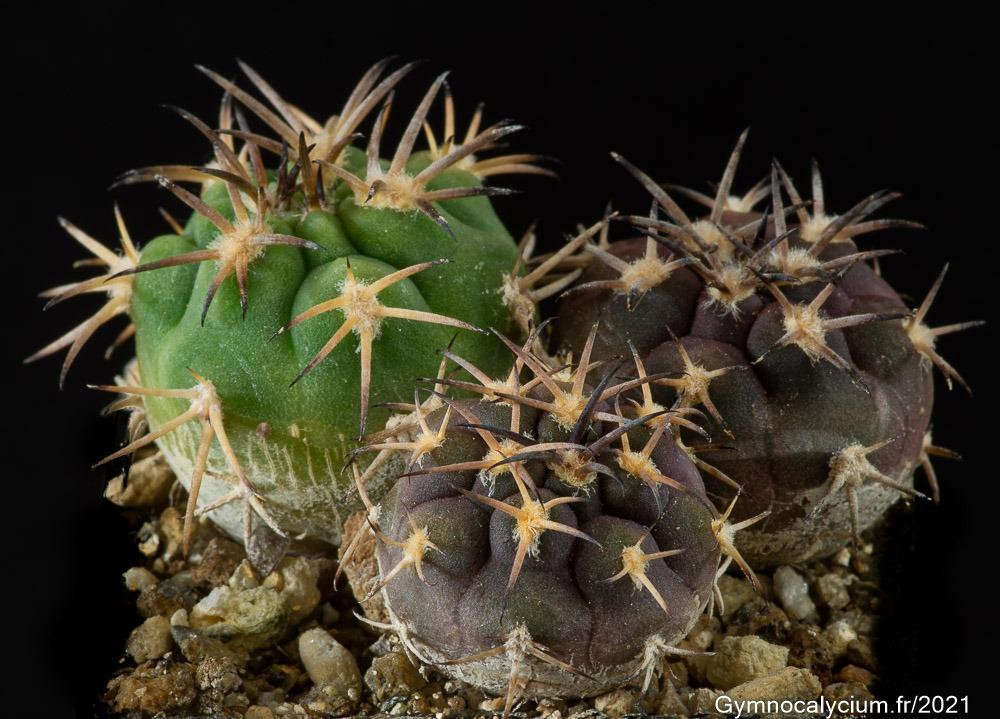 Gymnocalycium pugionacanthum (catamarcense fa belense VS 64) mêmes sujets à 2 ans.