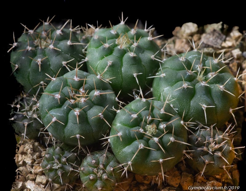 Gymnocalycium intertextum fa moserianum TOM 460.2