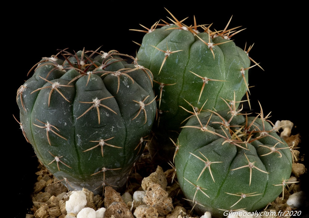 Gymnocalycium intertextum fa moserianum VS 910