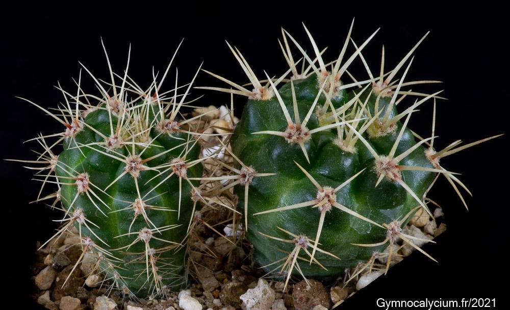 Gymnocalycium monvillei ssp gertrudae v. confusa GN 88-29/50