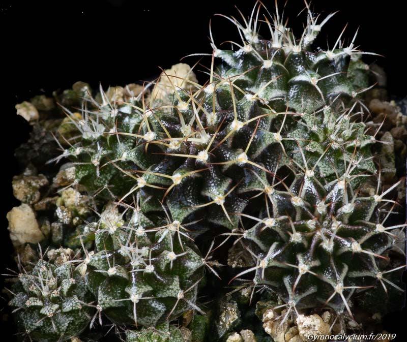 Gymnocalycium friedrichii ssp tumaemulticostatum VoS 03-064