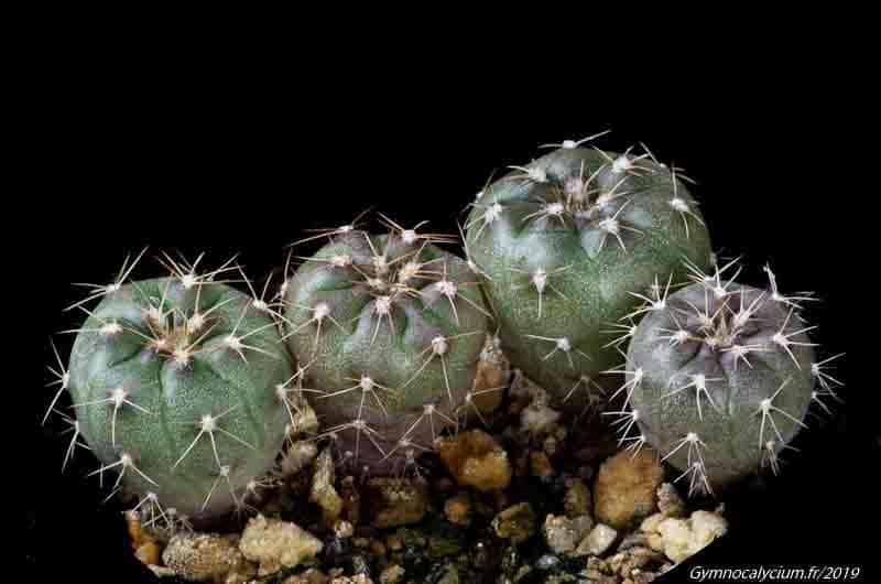 Gymnocalycium alenae TOM 09-502/1