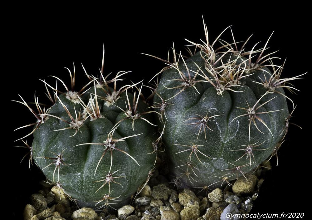 Gymnocalycium kulhanekii WP 442/859
