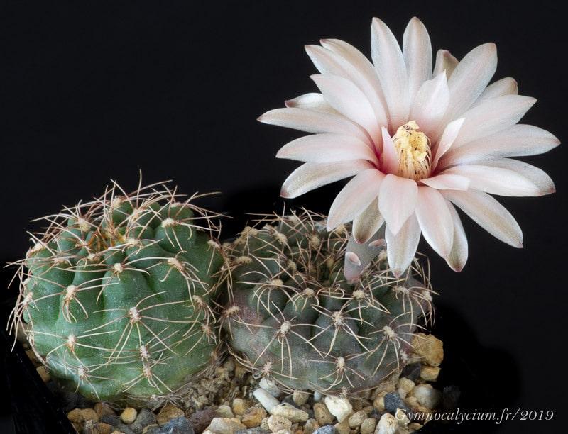 Gymnocalycum erinaceum RFPA 207.01