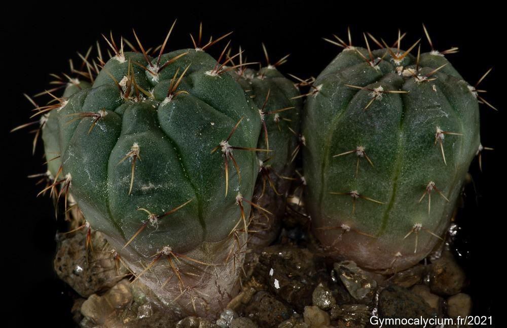 Gymnocalycium gaponii ssp macrocarpum VoS 10-863