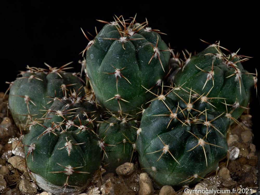 Gymnocalycium gaponii ssp macrocarpum VoS 10-867