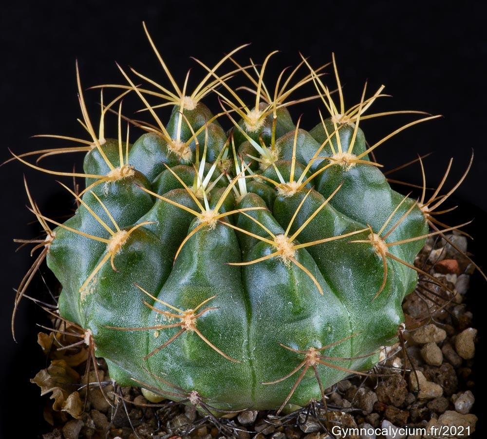 Gymnocalycium matoense VoS 06-288