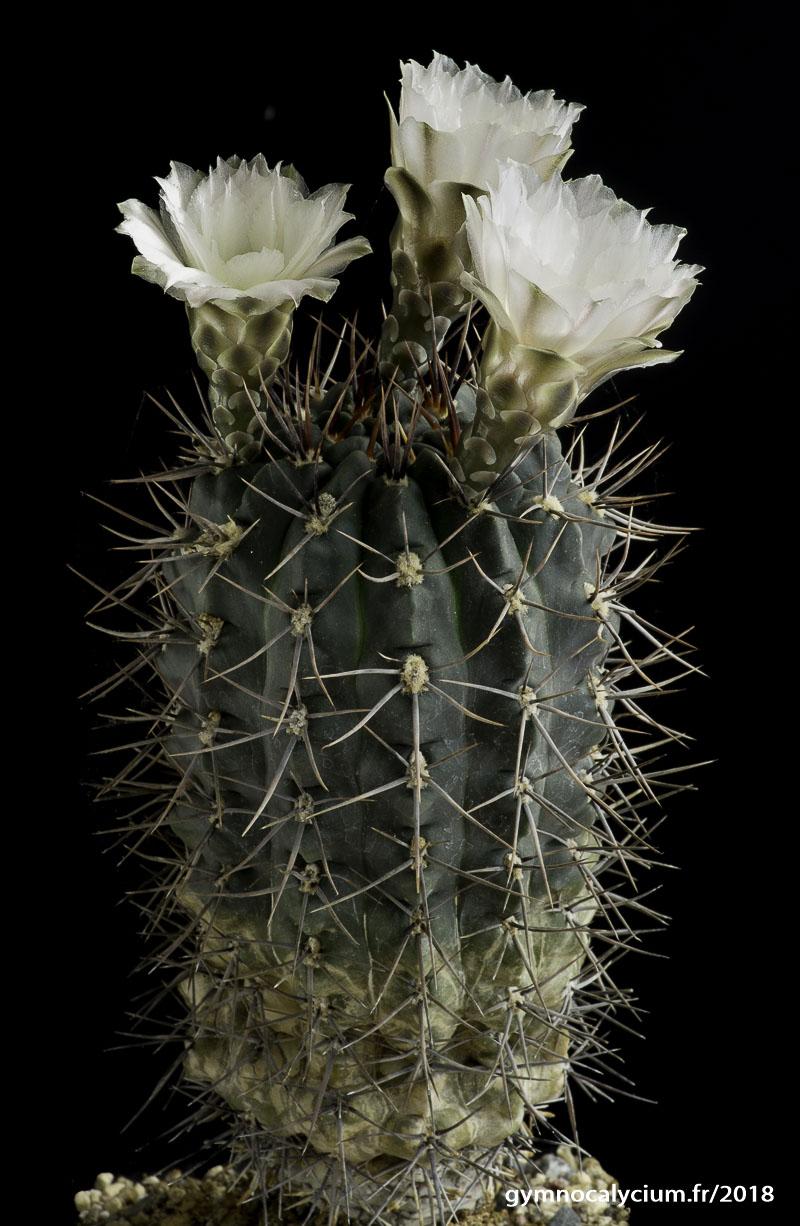 Gymnocalycium gibbosum ssp gibbosum (chubutense).