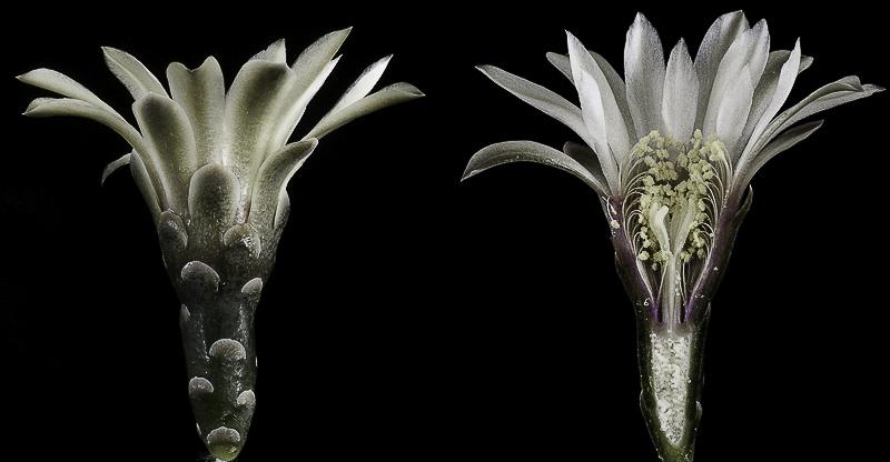 Gymnocalycium quehlianum (v. albispinum). Coupe longitudinale d'une fleur