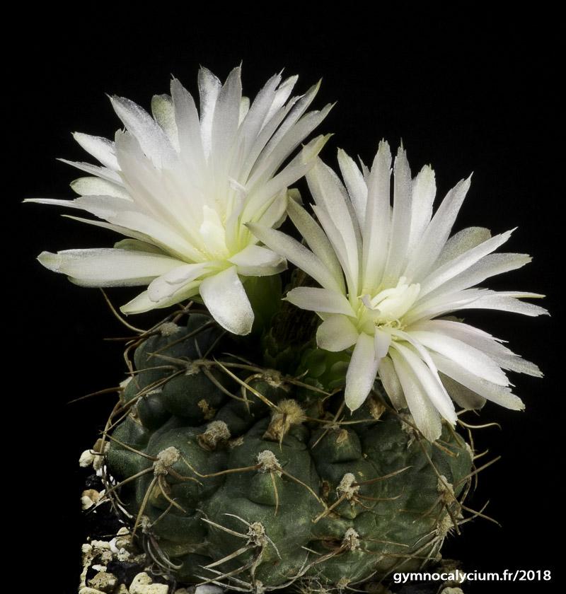 Gymnocalycium hyptiacanthum ssp uruguayense (uruguayense v. roseiflorum)