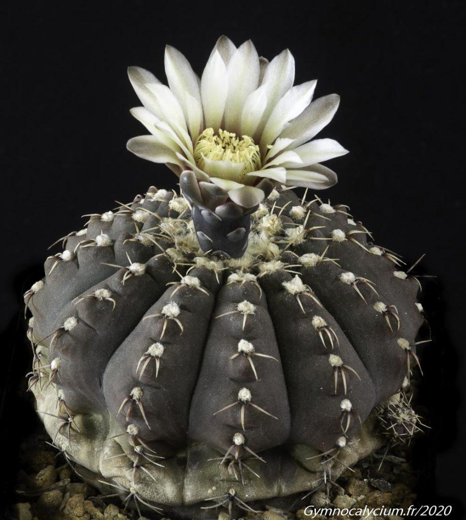 Gymnocalycium bodenbenderianum var. paucispinum fa platygonum P 216