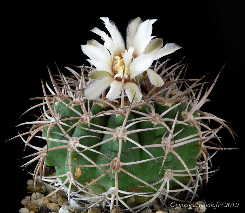 Gymnocalycium castellanosii ssp castellanosii P 393