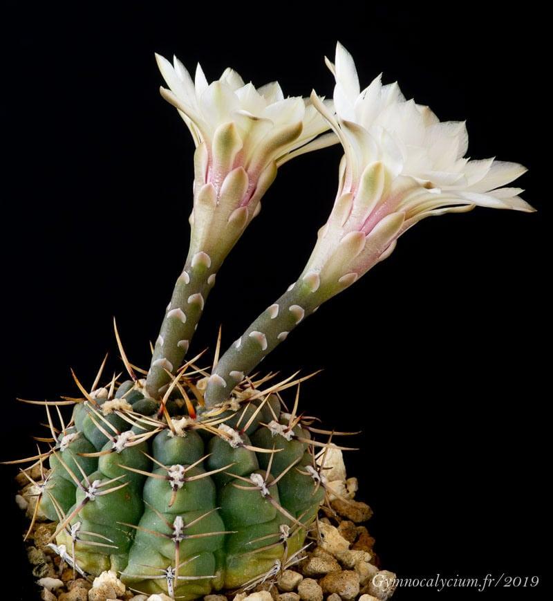 Gymnocalycium platense ssp paucicostatum (schroederianum ssp paucicostatum LB 960). Même sujet à 12 ans.