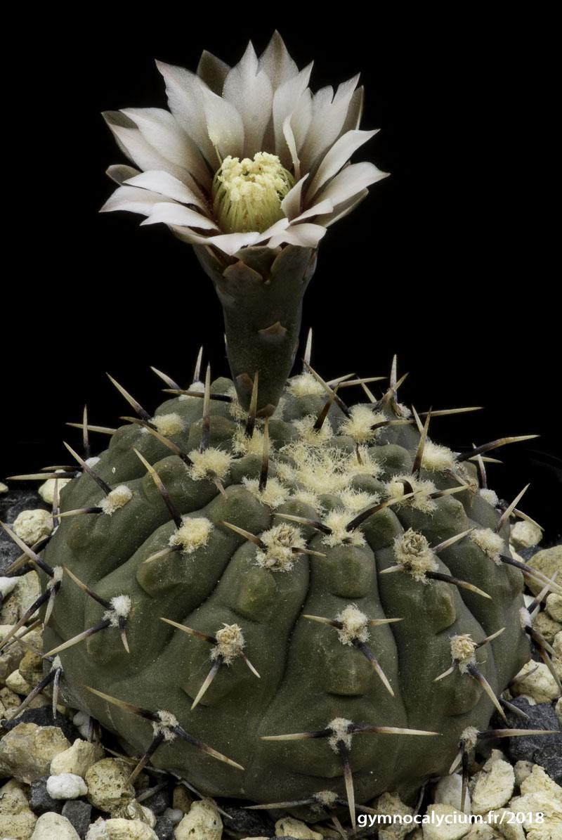 Gymnocalycium basiatrum acheté sous le nom de bodenbenderianum (riojense P 206).