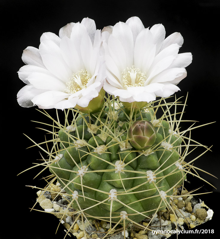 Gymnocalycium multiflorum v. parisiense.