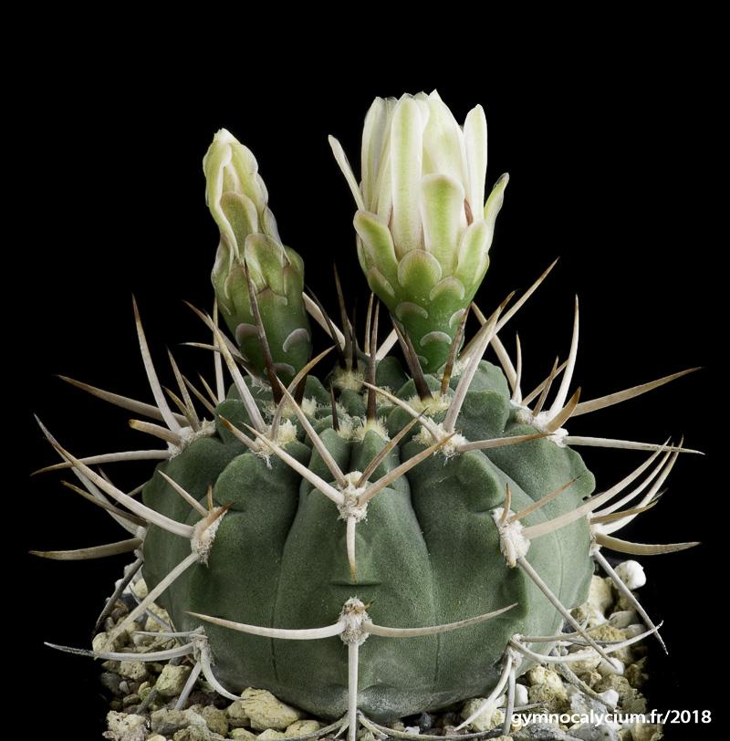 Gymnocalycium catamarcense ssp acinacispinum STO 87-45/1566