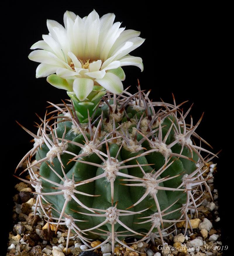 Gymnocalycium castellanosii ssp ferocius VoS 10-858