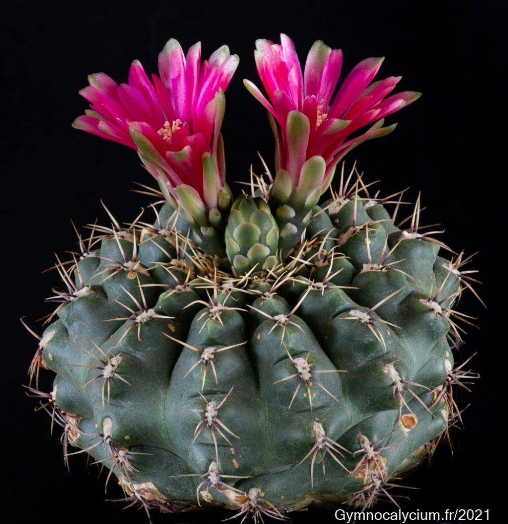Obtenu sous le nom de Gymnocalycium denudatum cv 'Jan Suba', ce sujet semble n'être qu'un hybride de Gymnocalycium baldianum.