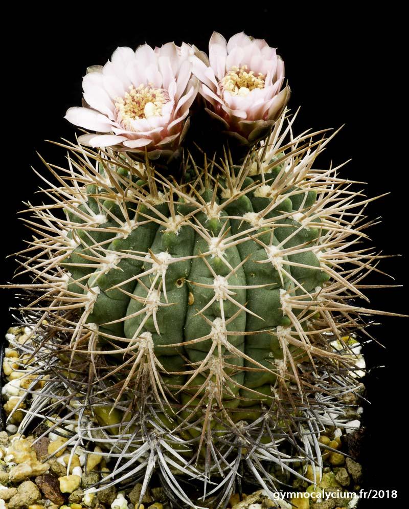 Gymnocalycium rhodantherum (weissianum).