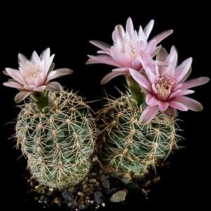 Gymnocalycium bruchii var. papschii SNE 04-083-249