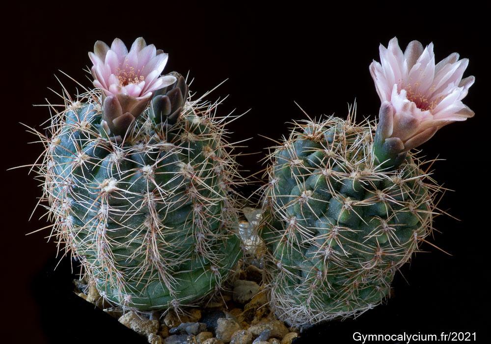 Gymnocalycium bruchii var. papschii WP 89-83/111 à 9 ans