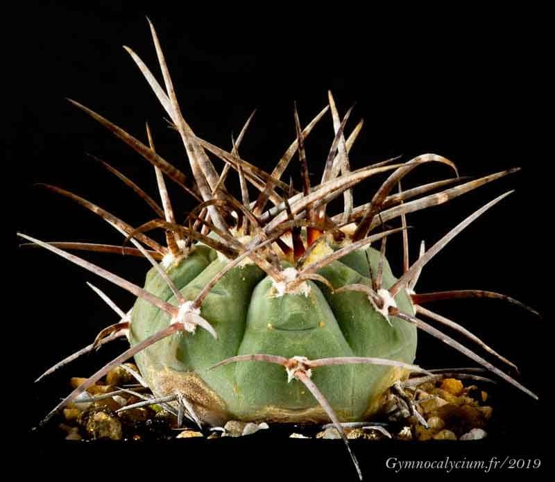 Gymnocalycium spegazzinii ssp cardenasianum (armatum VS 579)