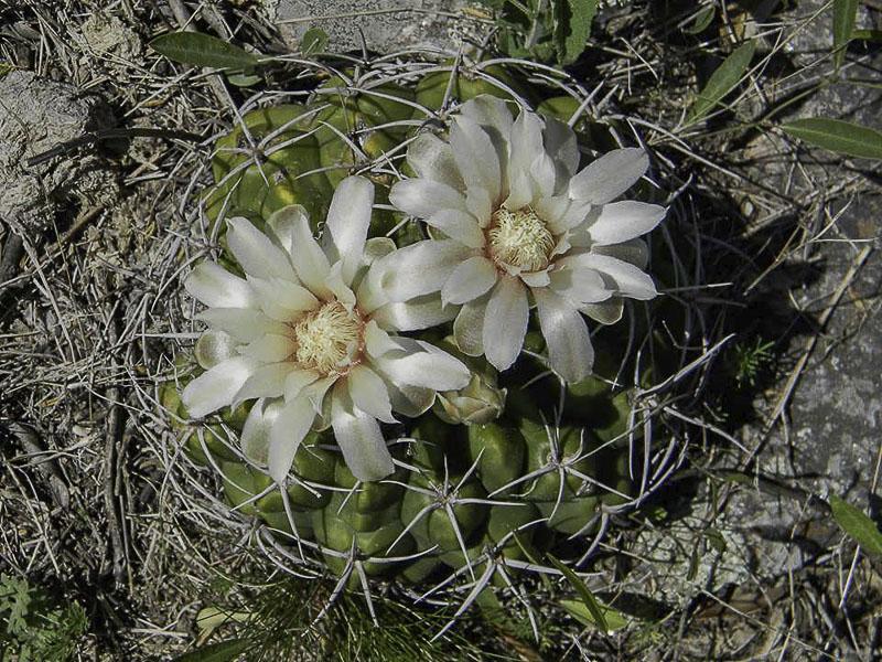 Gymnocalycium mostii. © Sebastian Santecchia. <br />Cuesta Blanca, Cordoba, Argentine.
